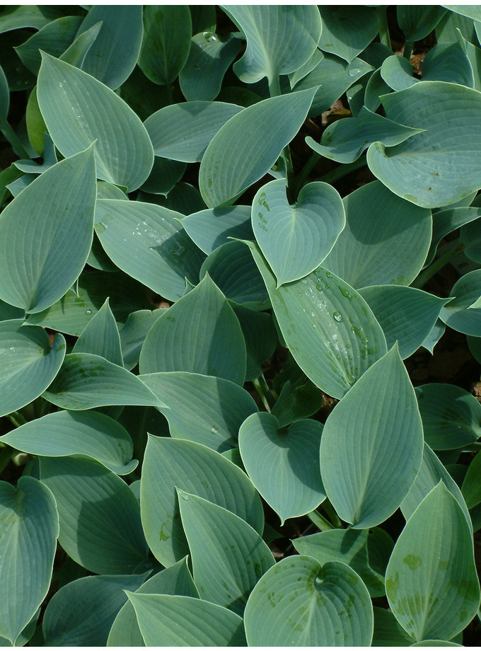 Hosta (Tardiana Group) 'Halcyon'
