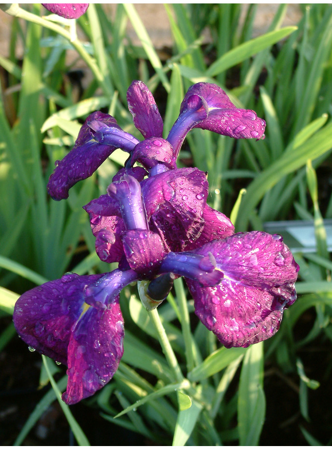 Iris ensata 'Variegata'