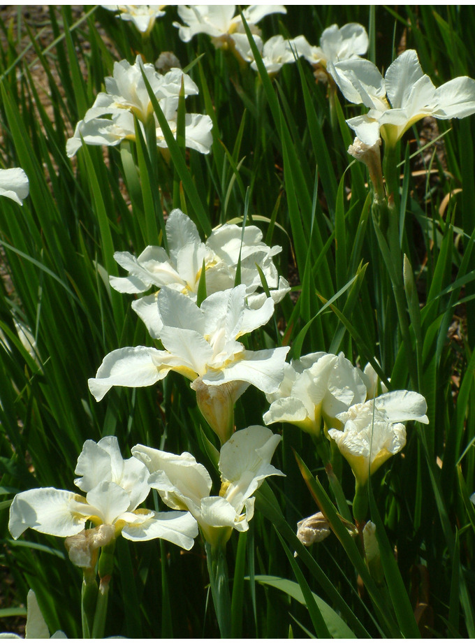 Iris 'White Swirl' (Sib)