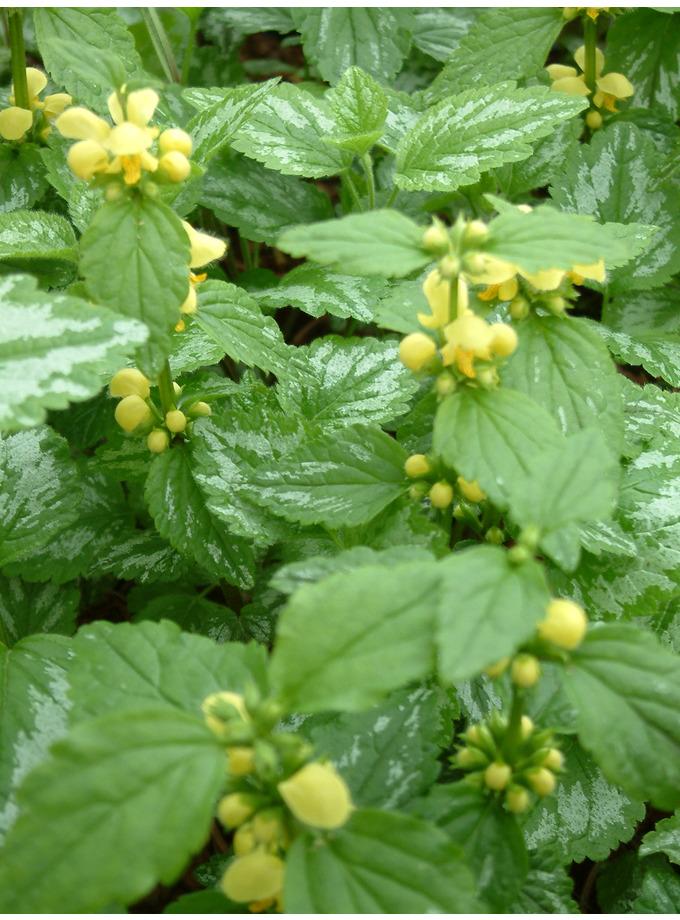 Lamium galeobdolon 'Florentinum'