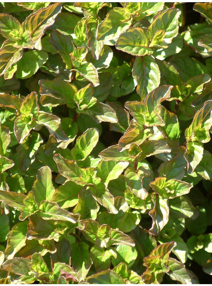 Mentha x piperita f. citrata