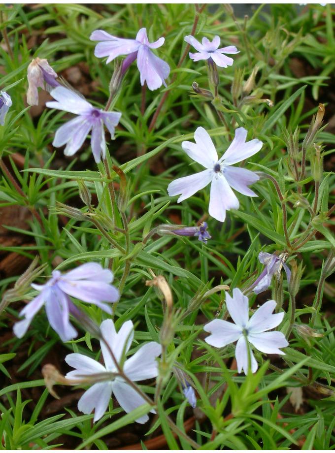 Phlox subulata 'Lilacina'