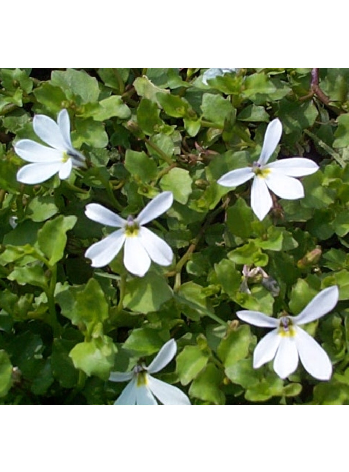 Pratia angulata 'Treadwellii'