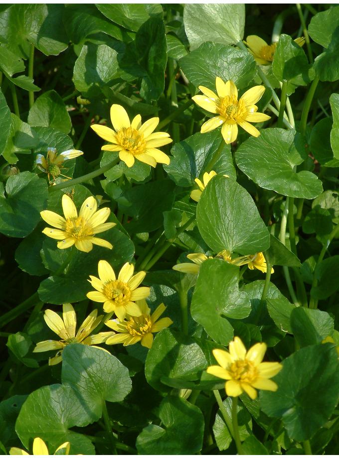 Ranunculus ficaria subsp. chrysocephalus