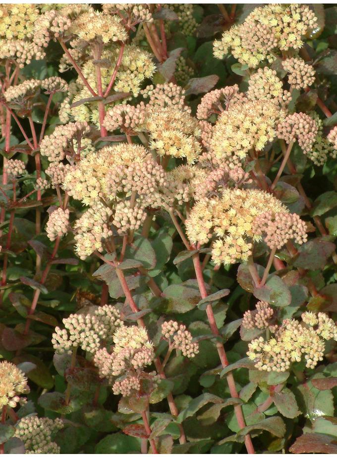 Hylotelephium telephium subsp. ruprechtii