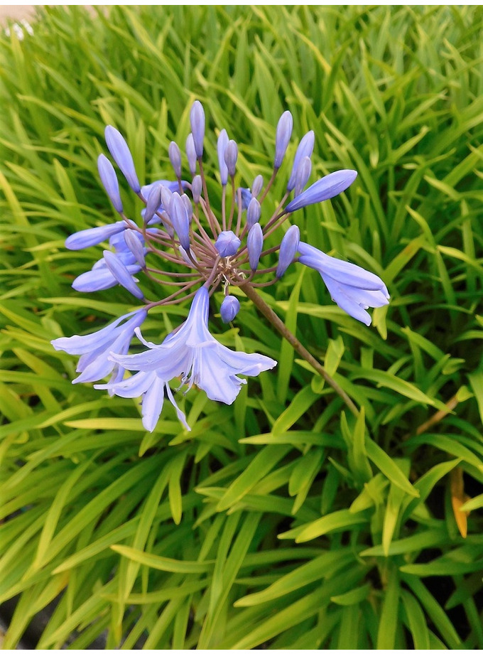 Agapanthus 'Dawn Star'