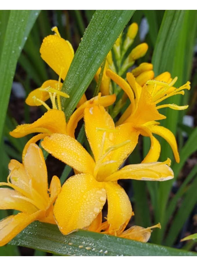 Crocosmia 'Pauls's Best Yellow'