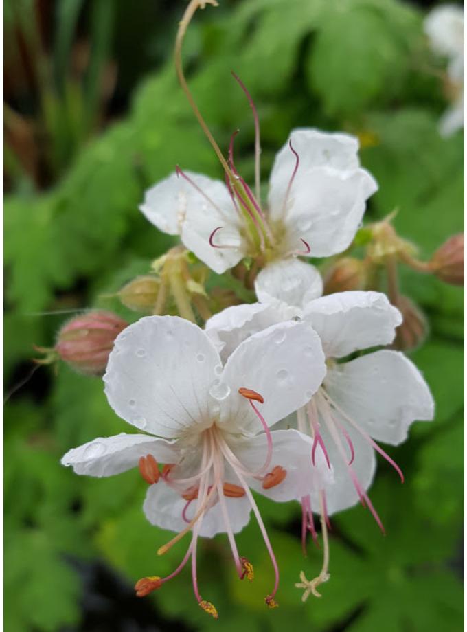 Geranium macrorrhizum 'Glacier'