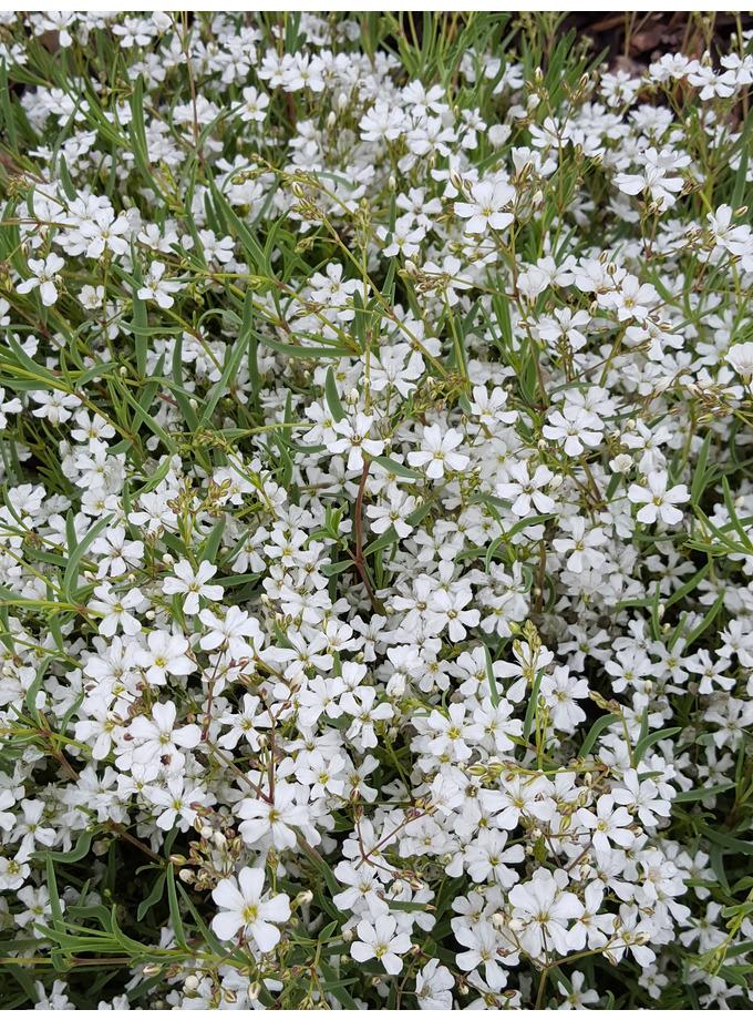 Gypsophila repens 'Alba'