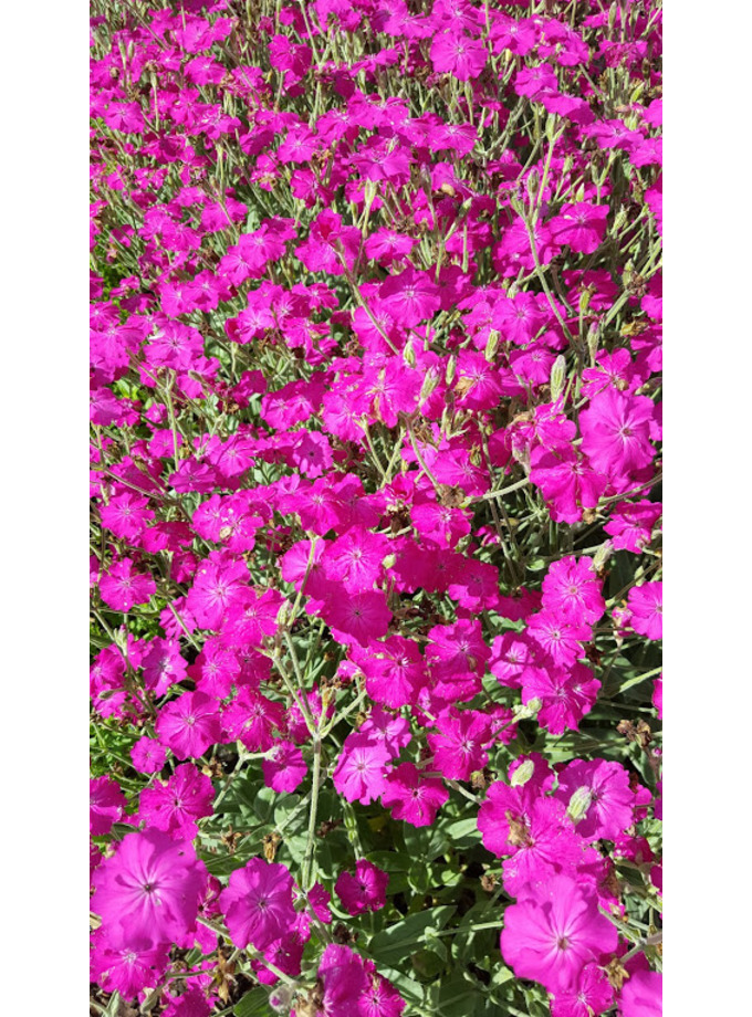 Lychnis 'Hilll Grounds'