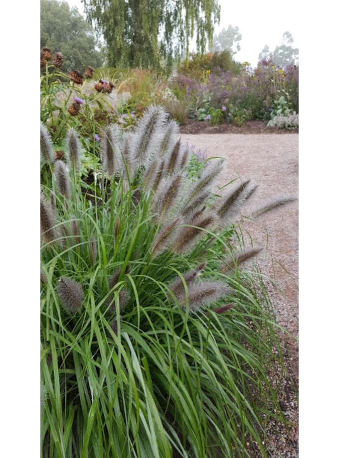 Pennisetum 'Black Beauty'