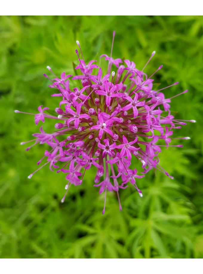 Phuopsis stylosa 'Purpurea'