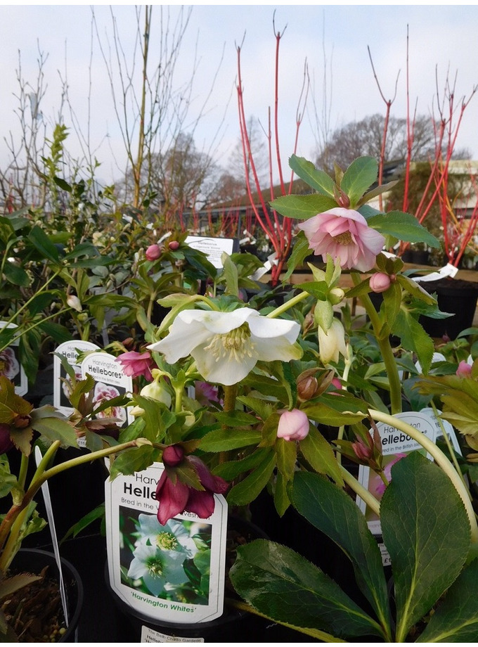 Helleborus x hybridus Single Flowered 1 Litre