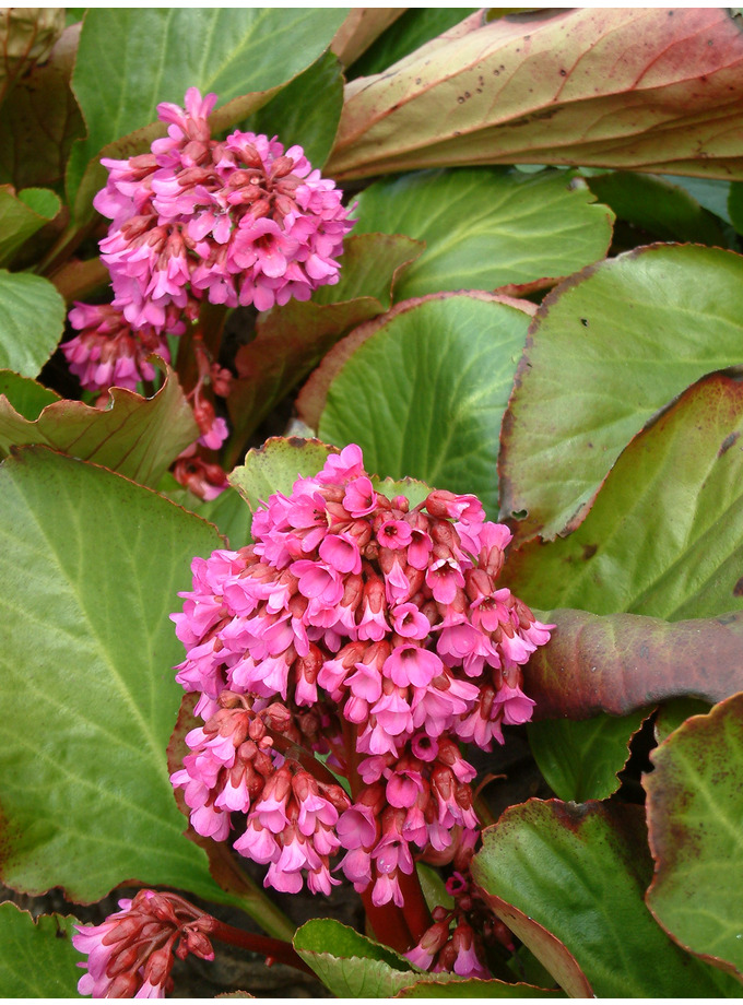 Bergenia 'Pugsley's Pink'