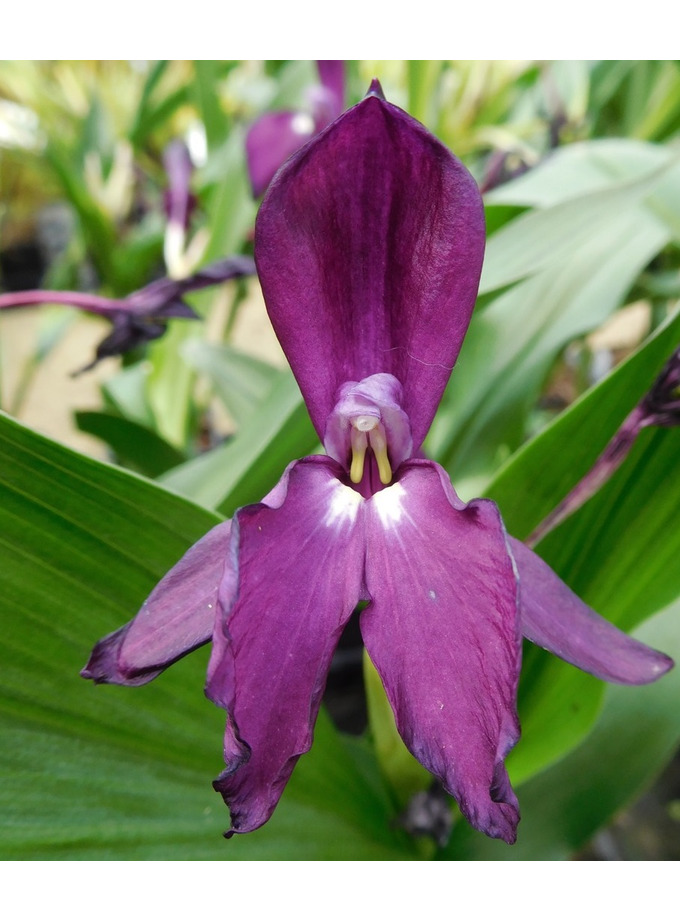 Roscoea 'Harvington Evening Star'