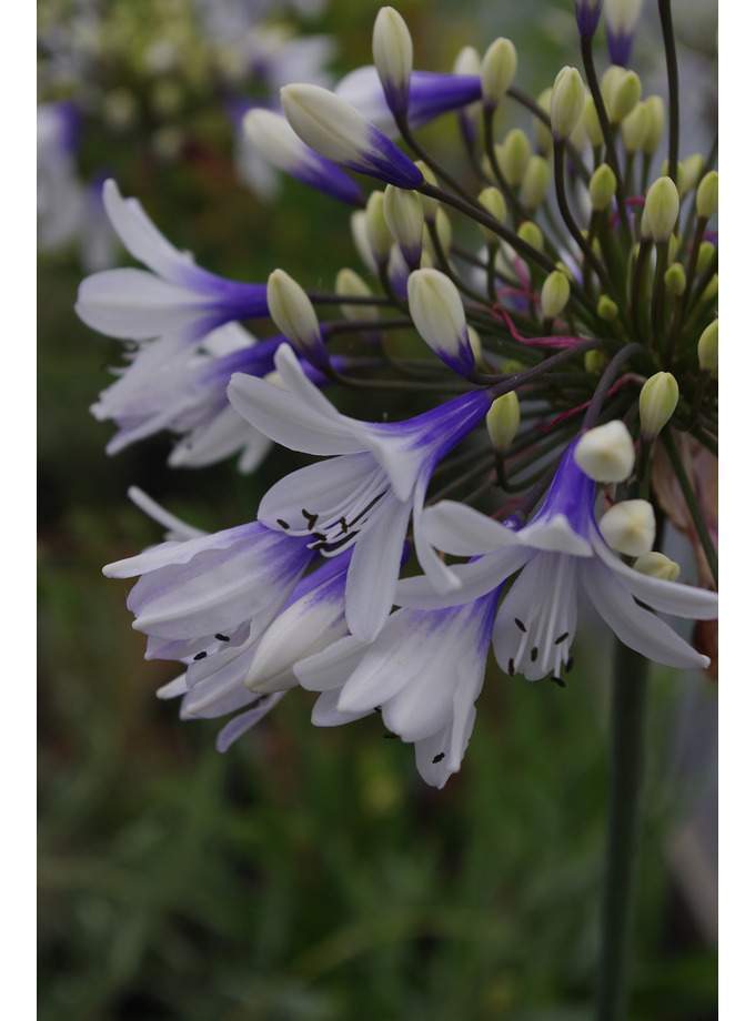 Agapanthus africanus Twister = 'Ambic001'