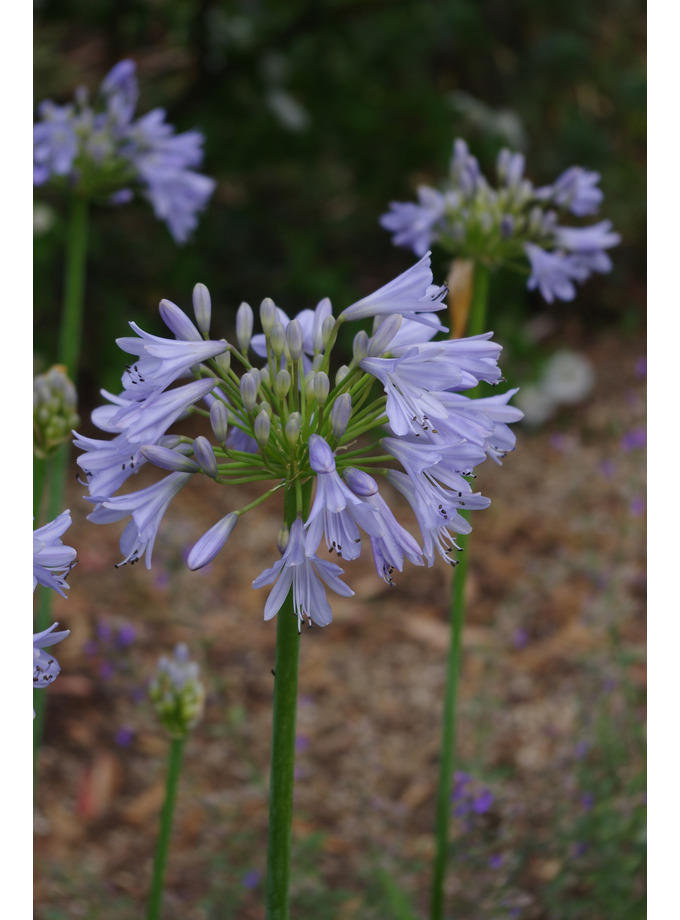 Agapanthus 'Blue Moon'