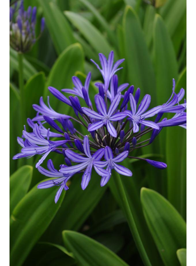 Agapanthus 'Blue Ribbon'