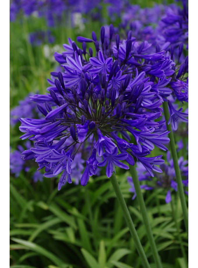 Agapanthus 'Evening Star'