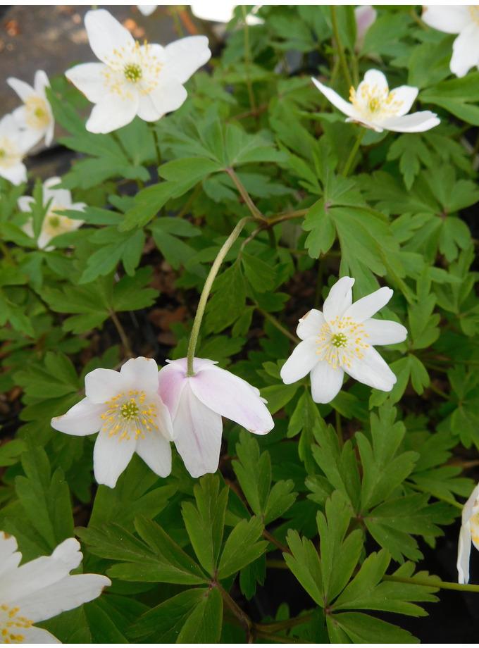 Anemone nemorosa 'Cedric's Pink'