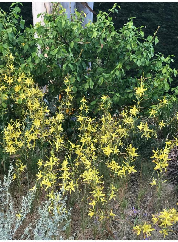 Asphodeline liburnica