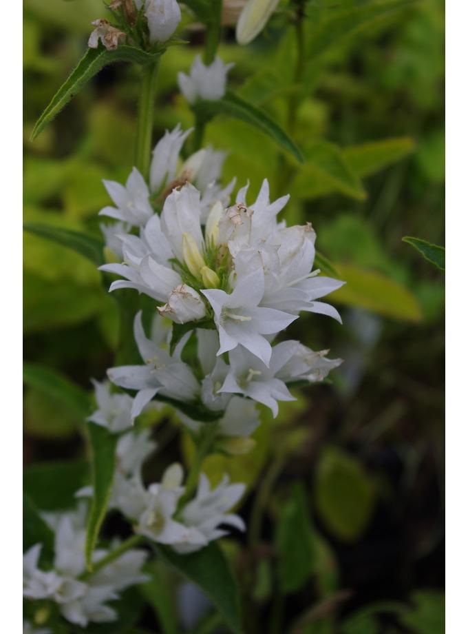 Campanula glomerata var. alba