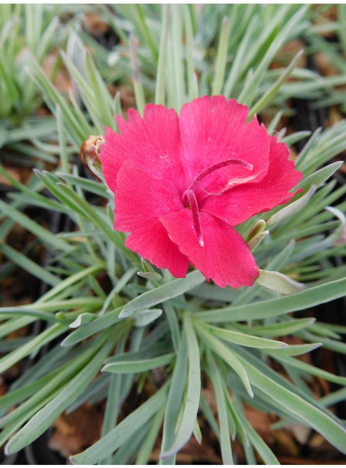 Dianthus 'Badenia'