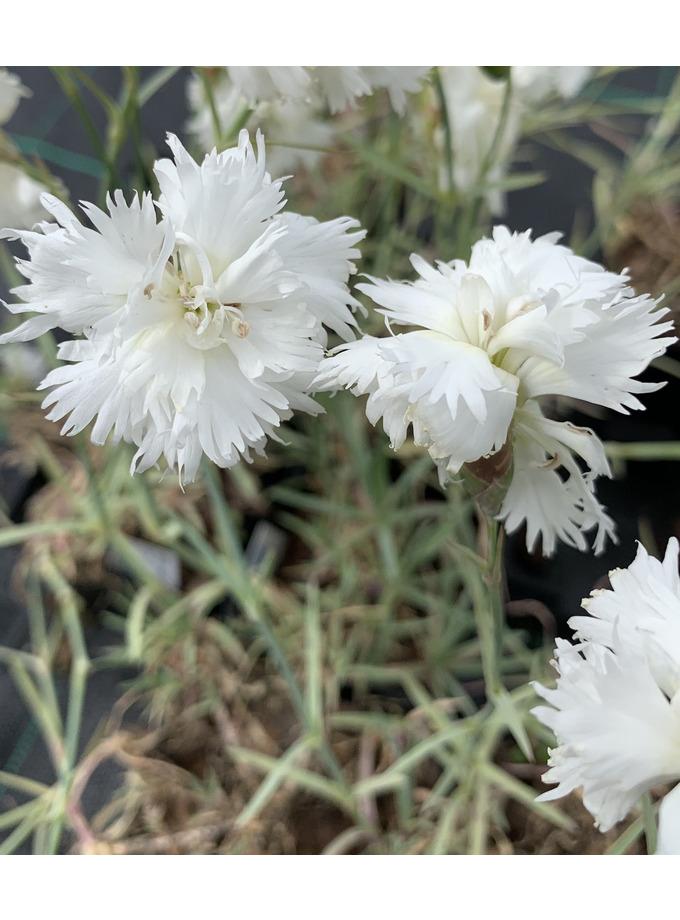 Dianthus plumarius 'Maischnee'
