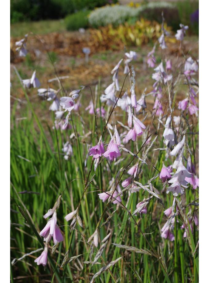 Dierama pulcherrimum pale flowered forms