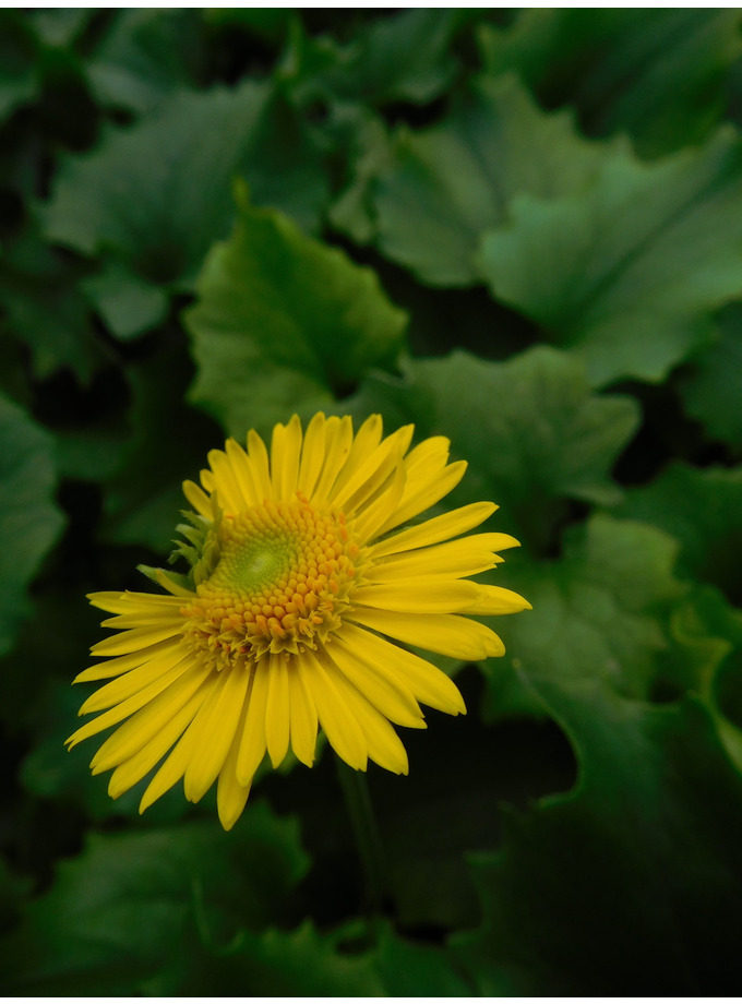 Doronicum 'Little Leo'