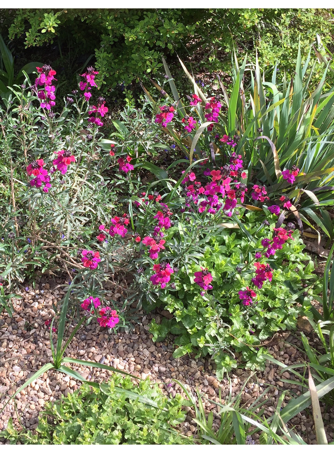 Erysimum 'Parish's'