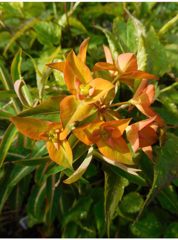 Euphorbia x arendsii