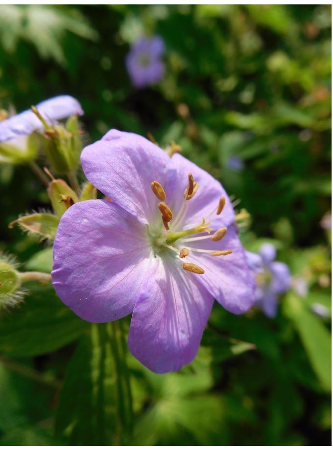 Geranium maculatum from Kath Dryden