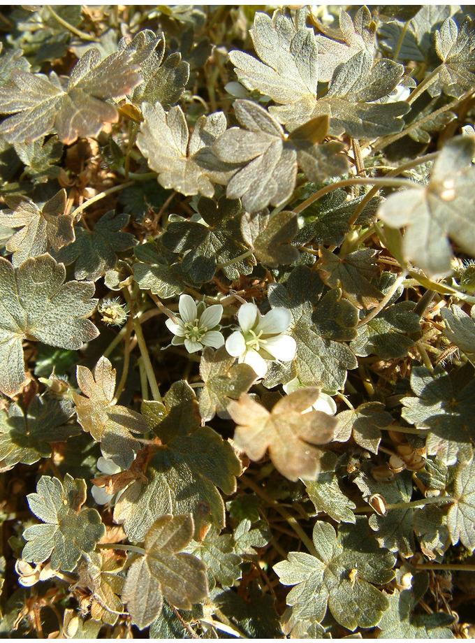 Geranium sessiliflorum  subsp. novae-zelandiae 'Nigricans'