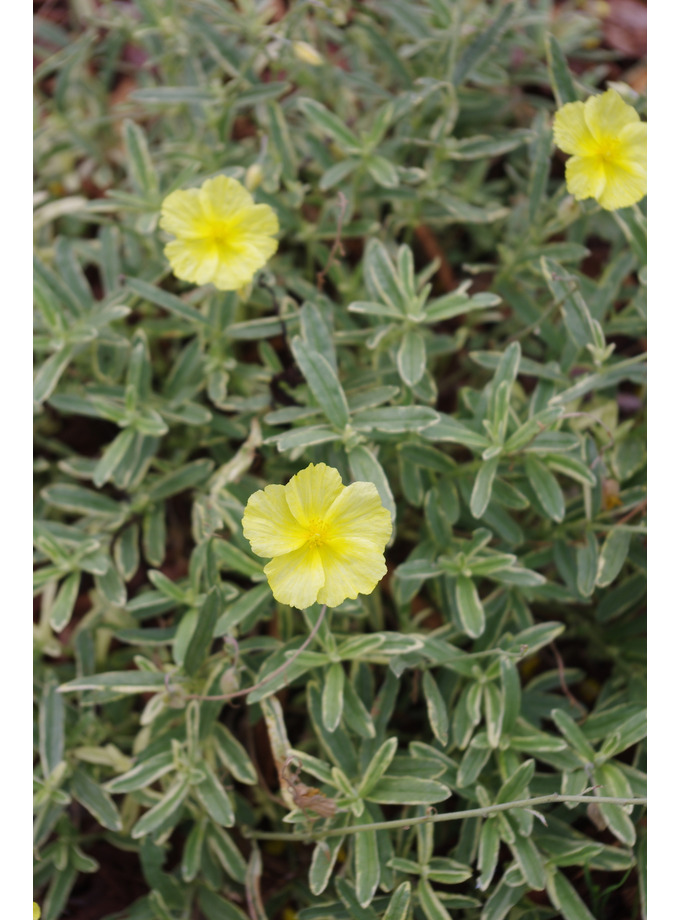 Helianthemum 'Fair Aubrie'