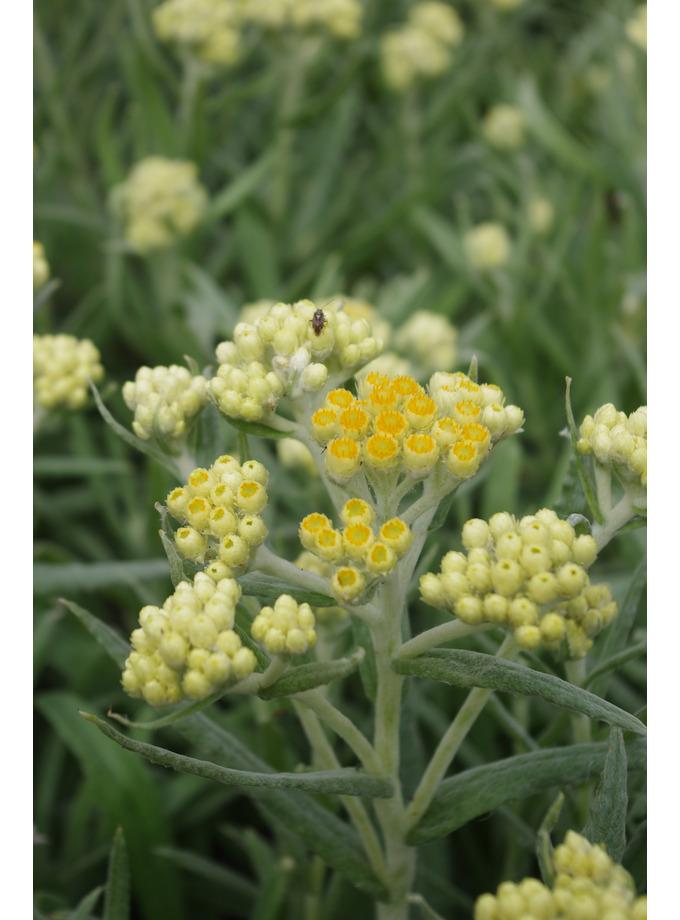 Helichrysum 'Schwefellicht'
