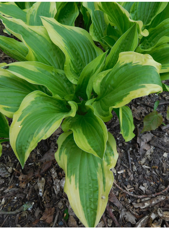 Hosta 'Yellow Splash Rim'