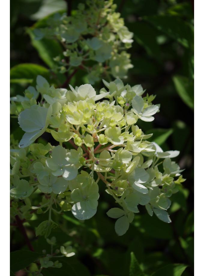 Hydrangea paniculata Vanille Fraise = 'Renhy'