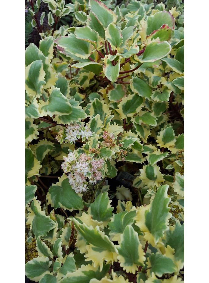 Hylotelephium populifolium 'Em's Variegated'