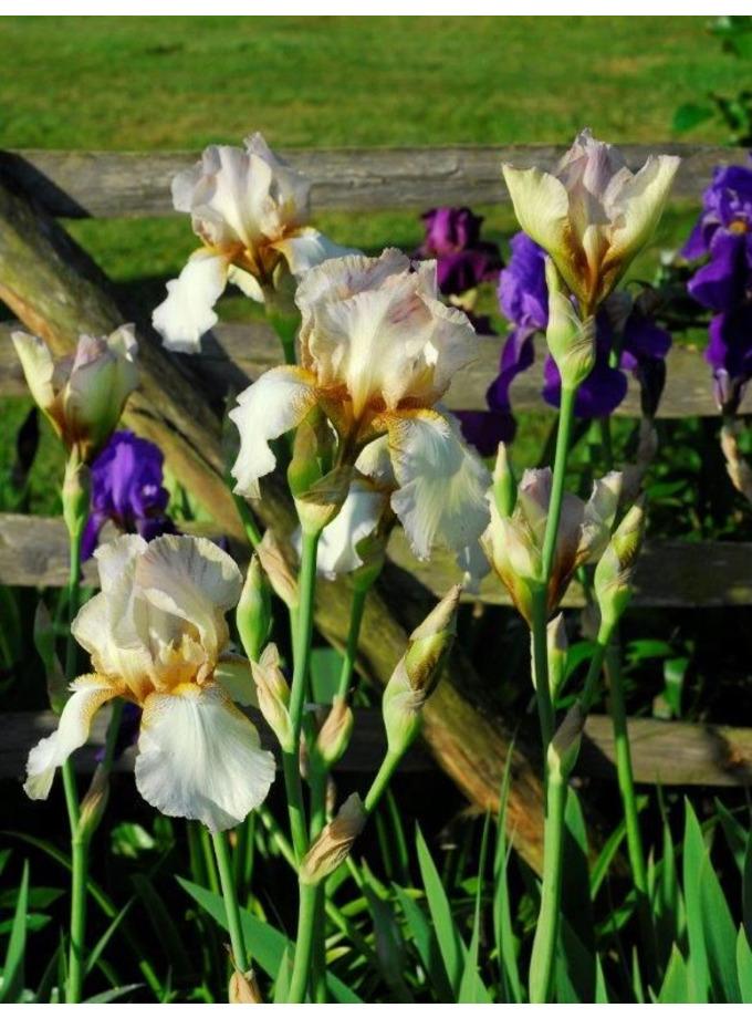 Iris 'Benton Argent'