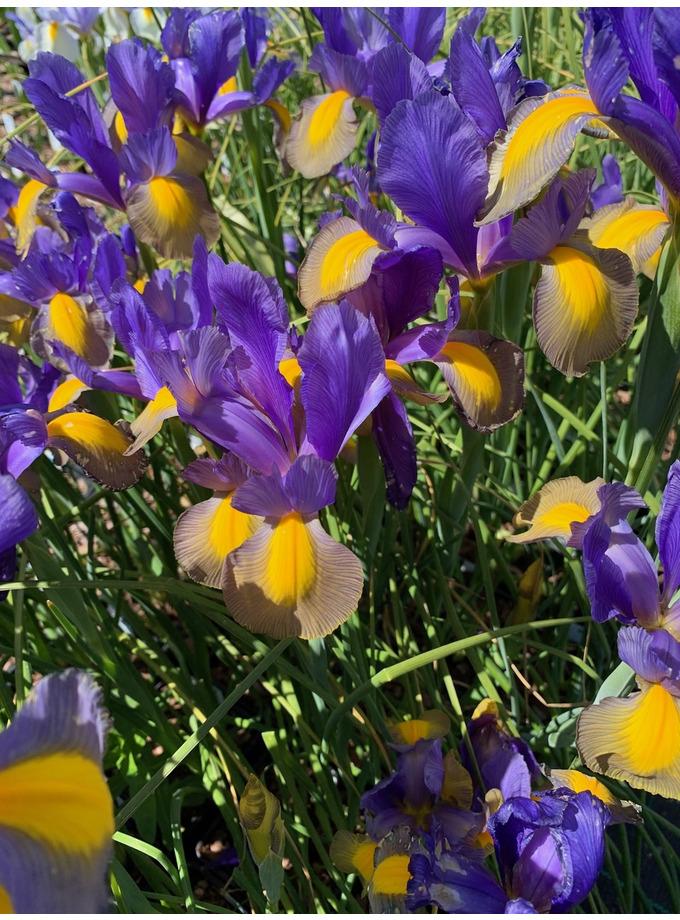 Iris 'Sapphire Beauty'