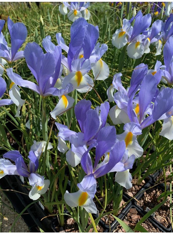 Iris 'Silvery Beauty'