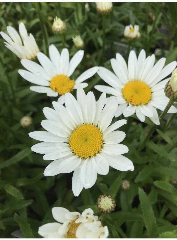 Leucanthemum x superbum 'Snowbound'