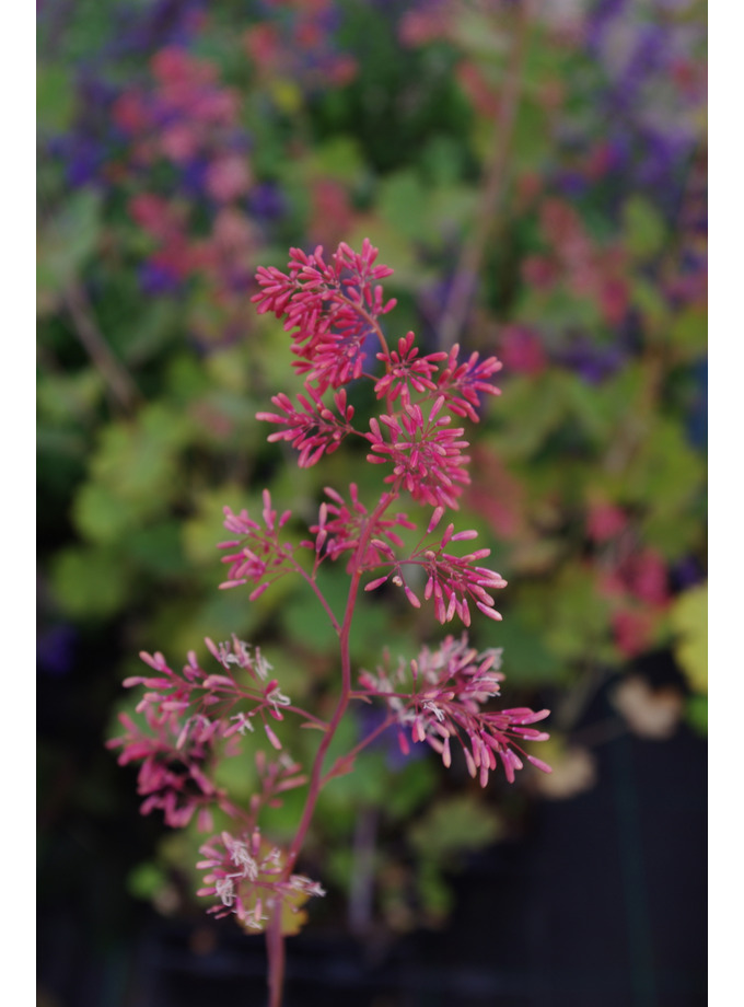 Macleaya microcarpa 'Spetchley Ruby'