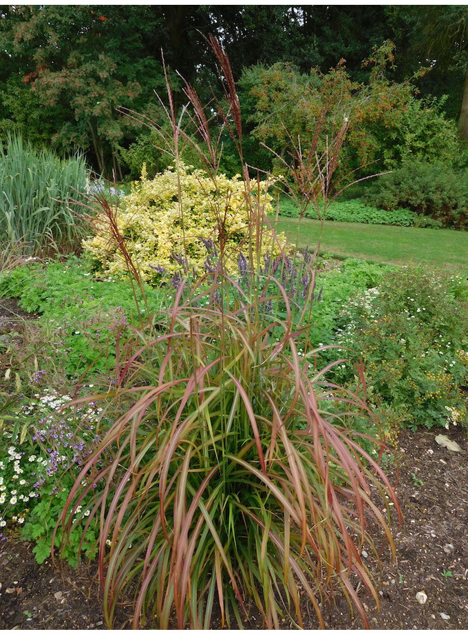 Miscanthus sinensis 'Flammenmeer'