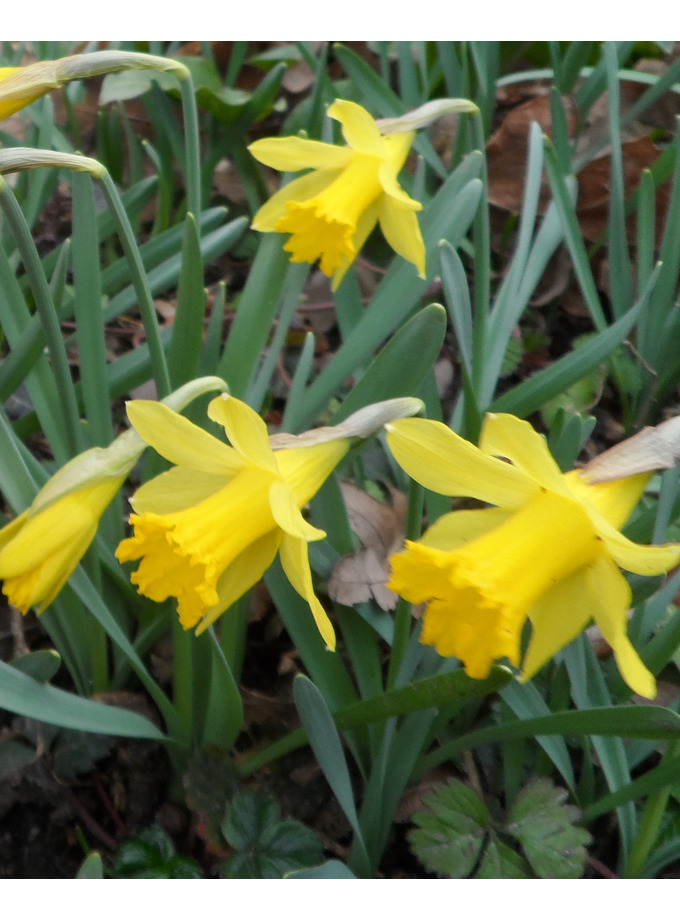 Narcissus minor