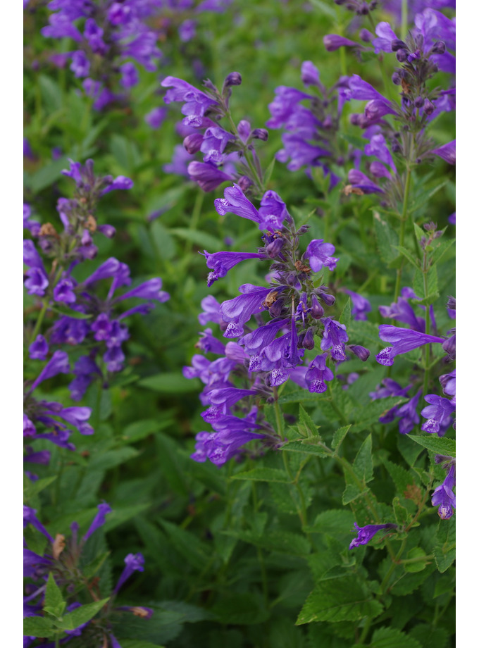 Nepeta 'Blue Dragon'