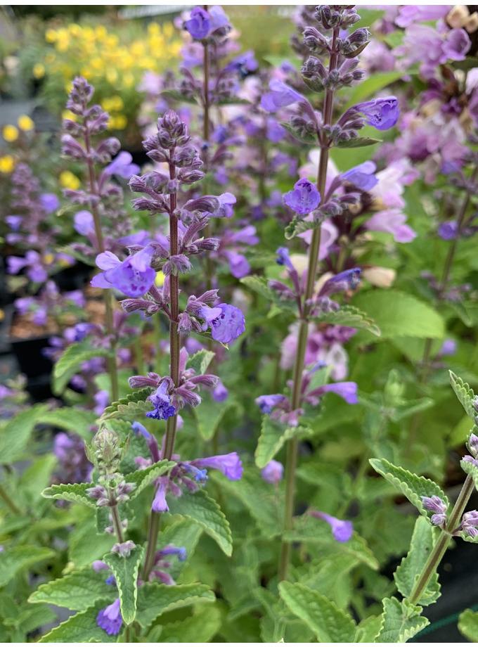 Nepeta grandiflora 'Blue Danube'