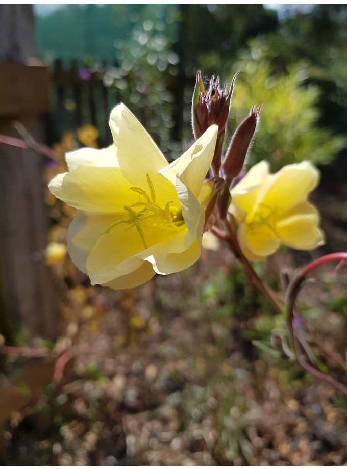 Oenothera 'Lemon Sunset'