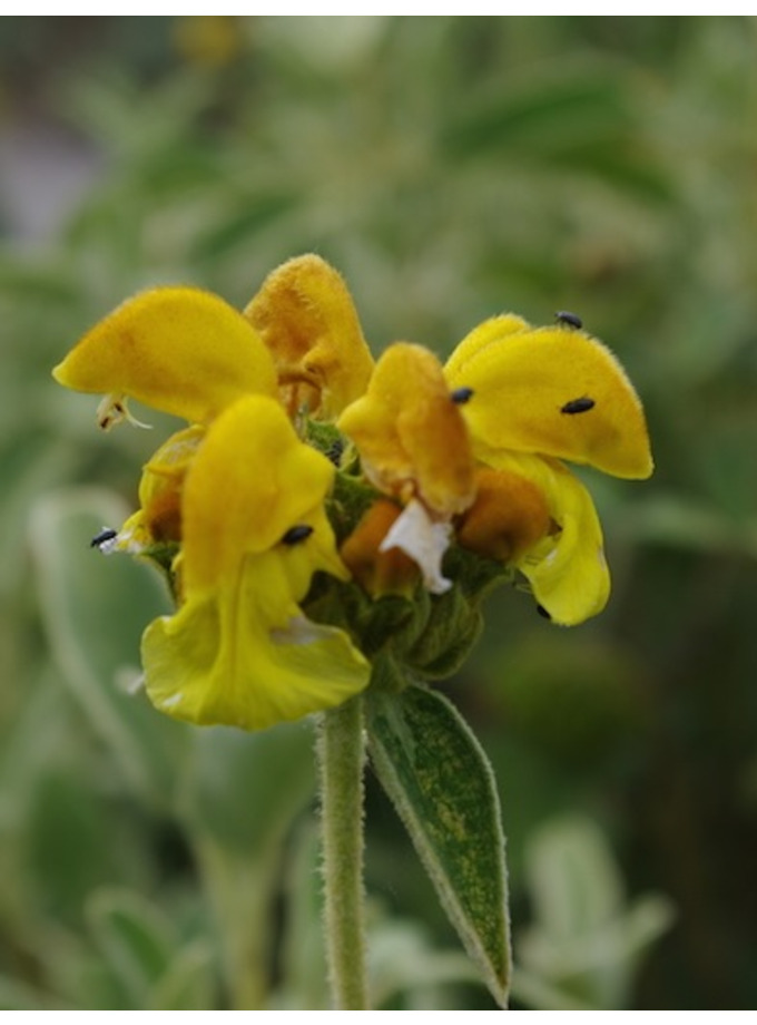 Phlomis fruiticosa